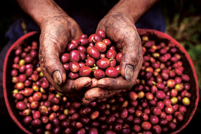 Handful of coffee cherry